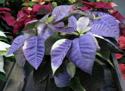 purple_poinsettia.jpg
