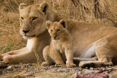 Mother and Cub wikicommons